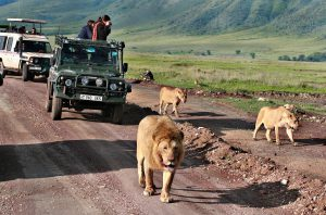Ngorongoro Conservation Area , Tanzania - February 13, 2008: Jeep safari in Africa, travelers, tourists photographed wild lions family. Carnivorous wild animals in wildlife move away from jeeps with day trippers.